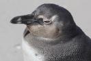 Tučňák brýlový.