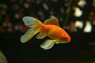 Muž snědl živou zlatou rybku, skončil u soudu