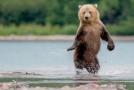 Medvěd kamčatský.
