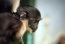 V liberecké zoo se narodilo mládě ohroženým kočkodanům Dianiným.