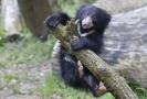 Zlínská zoologická zahrada představila 7. května 2019 první mládě medvěda pyskatého v historii zoo.