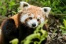 Ostravská zoo má novou samici pandy červené.