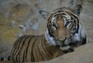 Ústecká zoo má nového tygra malajského, jmenuje se Bulan.