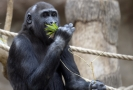 Pražská zoo chová gorily od roku 1963 a podílí se i na projektu pro záchranu goril ve volné přírodě.