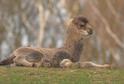 Mládě velblouda dvouhrbého.