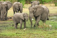 Botswana zrušila zákaz lovení slonů. Lidem ničí úrodu