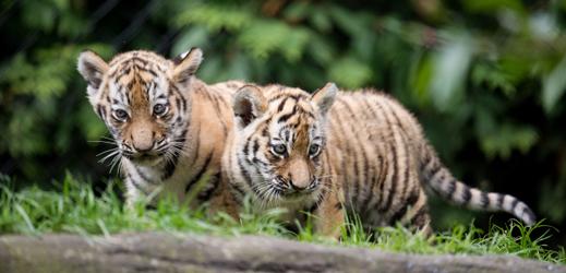 Mláďata tygra ussurijského.