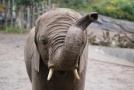 V mosambické rezervaci Niassa pytláci rok nezabili jediného slona.