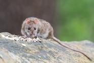 Novozélandské město zamořily krysy, žerou krmivo pro kuřata
