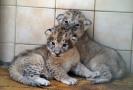 Mláďata lvů berberských.
