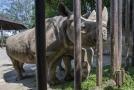 V Zoo Dvůr Králové nad Labem v neděli ráno naložili pět vzácných nosorožců černých pro cestu do středoafrické Rwandy.