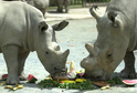 Samička severního nosorožce bílého Fatu si spolu s matkou Nájin.