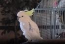 Tančící papoušek Snowball.