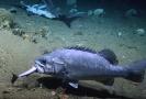Krmícího se žraloka sežrala větší ryba.