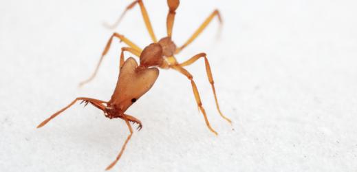 Jeden z nově objevených druhů mravenců.