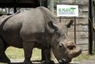 Sudán byl posledním samcem téměř vyhynulého druhu nosorožců severních bílých.