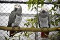 Papoušek šedý.