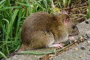 V Sydney bojují s přemnoženými krysami. Ohrožují psy