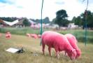 Růžové ovce na hudebním festivalu Latitude.