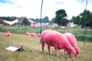 Nabarvili ovce na růžovo. Je to týrání, kritizují ochránci zvířat