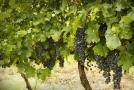 Vinohradům průběh letošního léta vyhovuje.