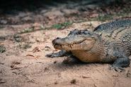 Tanzanie chce prodat deset procent všech krokodýlů, útočí na lidi