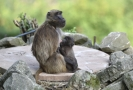 Skupina opic dželad se v zoo rozrostla o další mláďata.