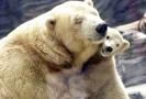 Lední medvědice Bora se svým mládětem.