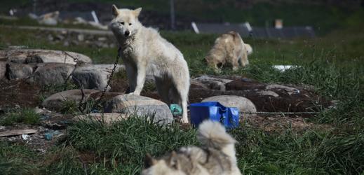 Grónští psi.