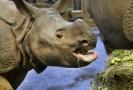 Samička nosorožce indického Růženka.