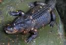 Chovatelé přestěhovali na zimu aligátora.