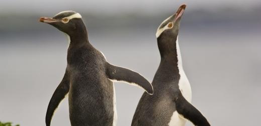 Tučňák žlutooký.