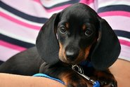 Ohledně čipování psů kolují mýty, zvířeti neublíží