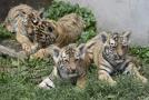 Čtyřčata tygra ussurijského (na snímku ze 7. srpna), která se narodila před dvěma měsíci v hodonínské zoo.