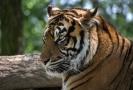 Tygr sumaterský.