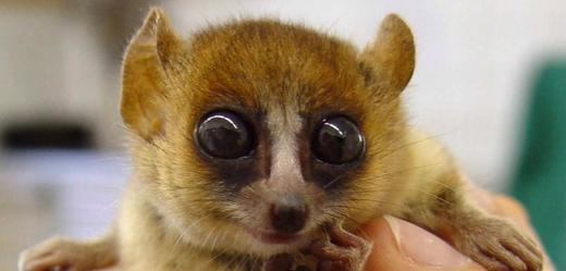 Pražské zoo se podařilo odchovat jednoho z nejmenších primátů