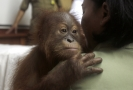 Mládě orangutana, které z Bali pašoval Rus.