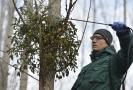 Student Mendelevovy univerzity aplikuje postřik na strom se jmelím.