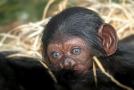 V plzeňské zoo se narodilo mládě šimpanze učenlivého.