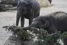 Sloni z pražské zoo.