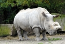 Samice nosorožce tuponosého severní formy neboli nosorožce bílého.