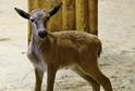 V liberecké zoo se 21. ledna 2020 narodil sameček buvolce běločelého.