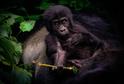Mládě ohrožené horské gorily.