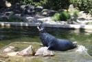 Podkrušnohorský zoopark v Chomutově, tuleň kuželozubý.