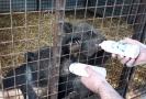 Předávání medvíďat na slovenskou stranu na hraničním přechodu v Brumově-Bylnici na Zlínsku.