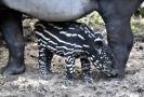 Mládě tapíra čabrakového.