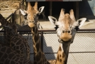 Stádo žiraf Rothschildových ve výběhu v olomoucké zoo na Svatém Kopečku.