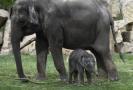 Samička slona indického s matkou.