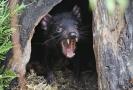 Tasmánský čert neboli ďábel medvědovitý.