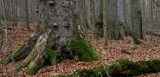 Boubínský prales.